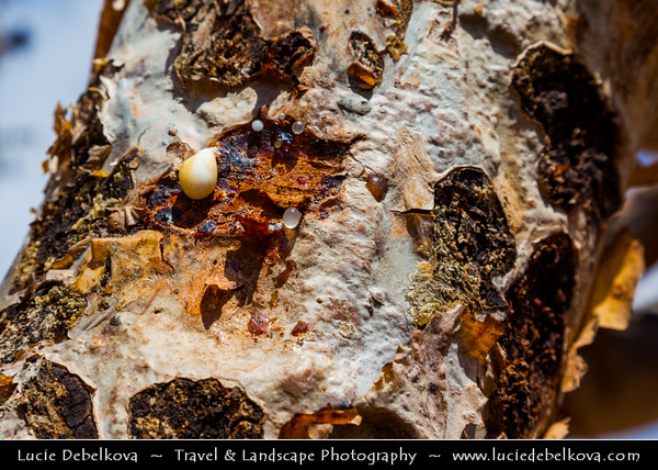 Middle East - Sultanate of Oman - Dhofar Province - Salalah Area - Frankincense tree - Al-lubān - Special type of trees growing only in certain places with the correct soil along Incense Road