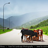 Middle East - Sultanate of Oman - Dhofar Province - Salalah Area - صلالة - Ṣalālah - Scenic coastal location along Indian Ocean surrounded by rugged mountains during Khareef - Rainy Season bringing misty & foggy weather - Cows freely wondering along the road