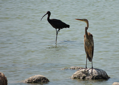 Glossy Ibis and Grey Heron