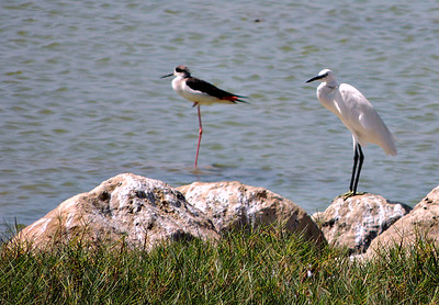 Black-backed Stilt; Little Egret