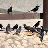 Tristram's Starling Group