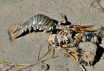 Spiny Lobster carapace