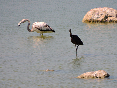 Greater Flamingo and Glossy Ibis