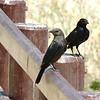 Tristram's Starling Pair