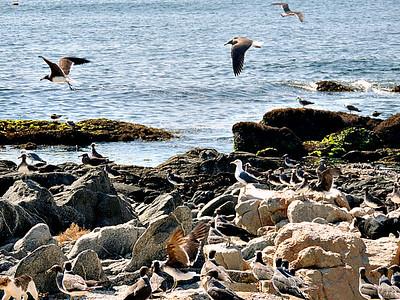 Sooty Gulls