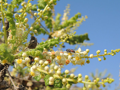 Bees on frankincense flowers