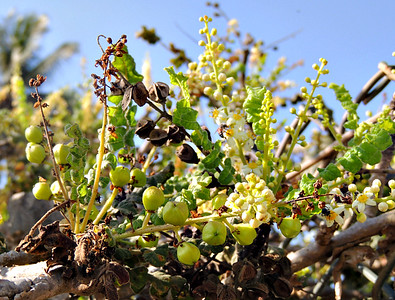 Frankincense flowers and fruit