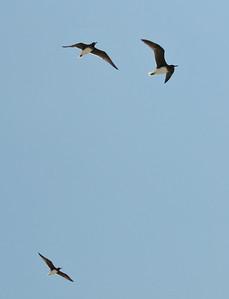 Sooty Gulls in flight