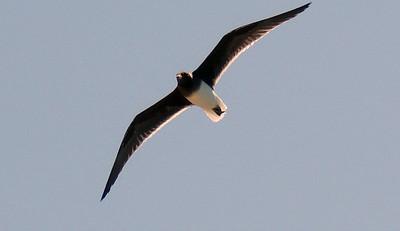 Sooty Gull in flight