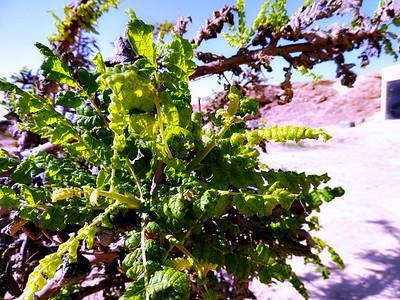 Frankincense leaves