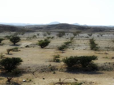 Frankincense plantation