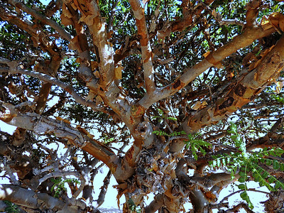 Frankincense branches