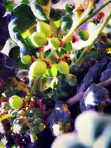 Frankincense fruit