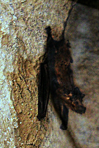 Oman Mouse-eared Bat