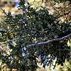 Persian Juniper with Berries