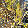 Persian Juniper