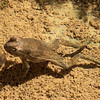 Dhofar Toad