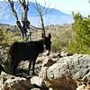 Melanic Feral Donkey