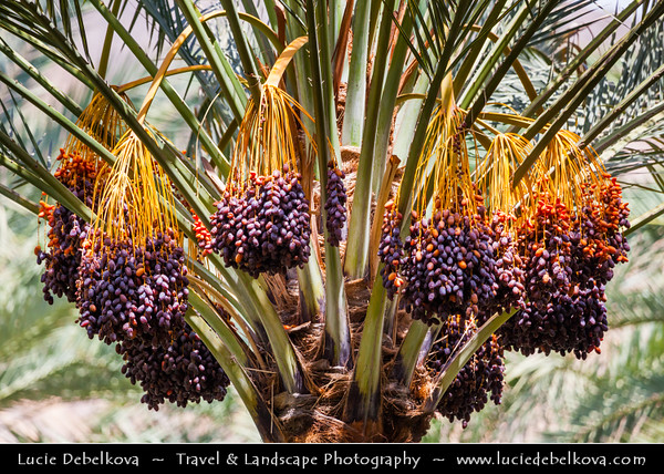 Middle East - Sultanate of Oman - Ad Dakhiliyah Region - Birkat al-Mawz - Birkat Al Mauz - Birkat Al Mouz - Historical village located at entrance of Wadi al-Muaydin on southern rim of Jebel Akhdar - Date palm trees in desert oases