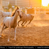 Middle East - GCC - Qatar - Doha - الدوحة‎ - ad-Dawḥa - ad-Dōḥa - Souq Waqif - Souk Wakif - Shopping destination built in traditional architectural Qatari style - Horses running at sunset
