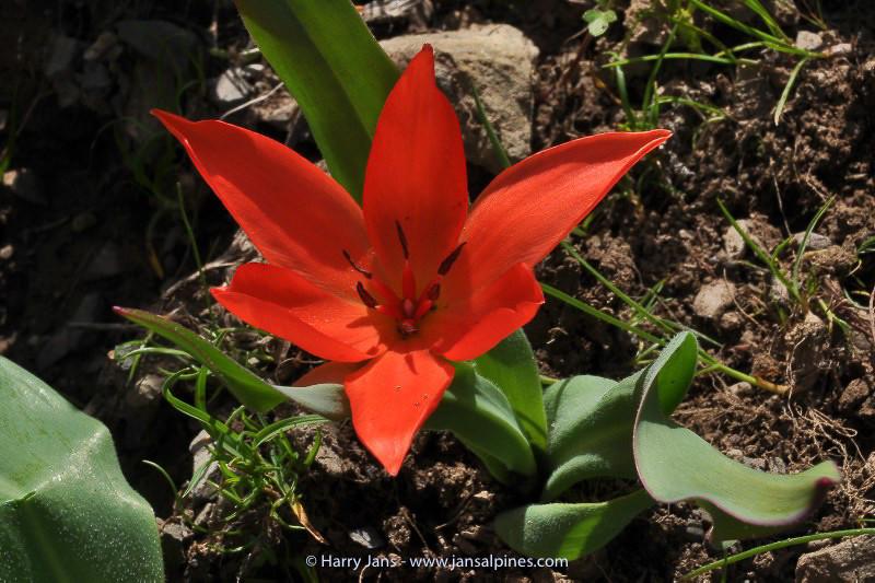 Tulipa praestans