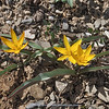 Tulipa turkestanica (yellow form)