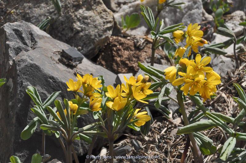 Gymnospermum albertii