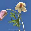 Anemone tschernjaewii