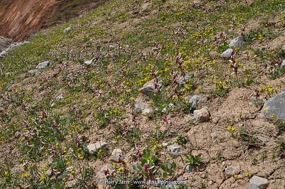 Corydalis ledebouriana
