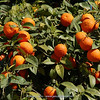 orange trees in Kemer