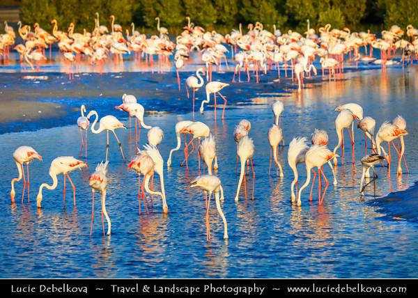 Middle East - GCC - United Arab Emirates - UAE - Dubai - Ras Al Khor Wildlife Sanctuary - Pink flamingos in pastiche of salt flats, mudflats & mangroves