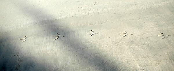 Tracks of large heron or egret