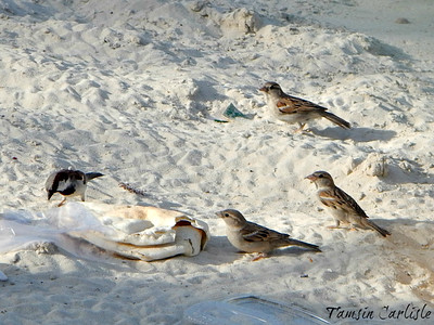 House sparrows snacking on pita bread