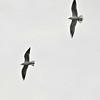 Common Black-headed Gulls