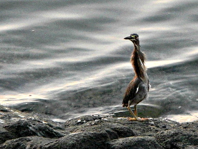 Striated Heron - juvenile