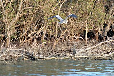 Grey Heron and Western Reef Herons