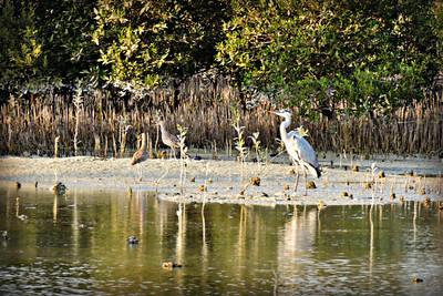 Grey Heron and Shorebirds