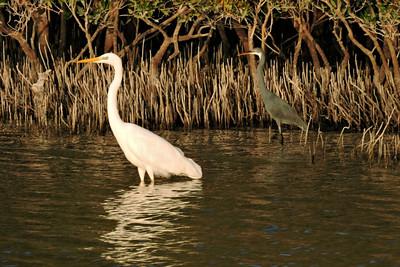 Great Egret and Western Reef Heron