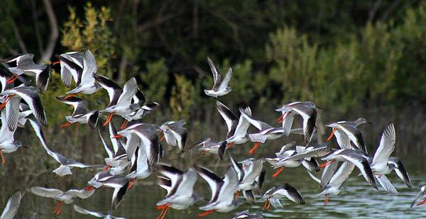 Common Redshanks