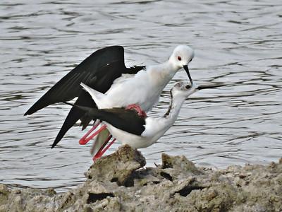 Black-winged Stilts mating