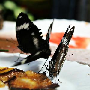 Butterflies feeding on fruid slices