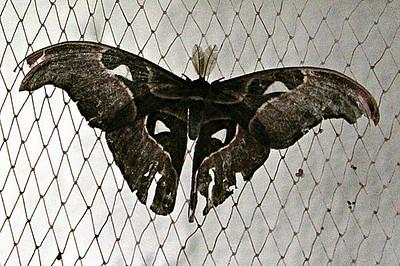 Cecropia Moth/Giant Silk Moth - male