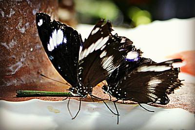 Family: Papilionidae Butterfly Garden, Dubai, UAE