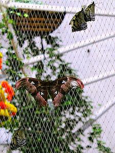 Cecropia Moth/Giant Silk Moth - female