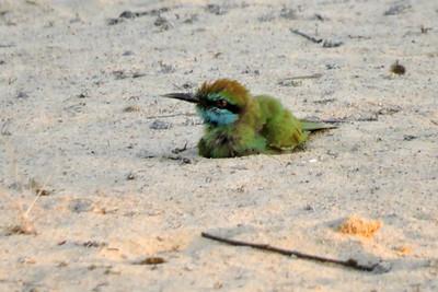 Little Green Bee-eater Dustbathing