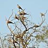 Eurasion Collared Doves