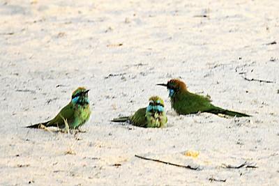 Little Green Bee-eaters Dustbathing