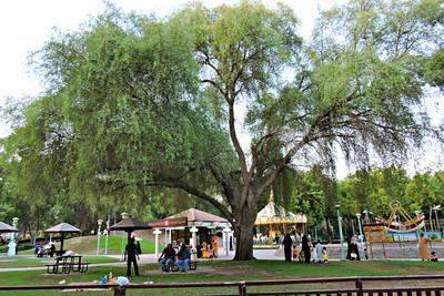 Huge Ghaf Tree