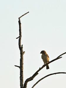 Pale Rockfinch?