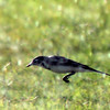 White Wagtail in flight
